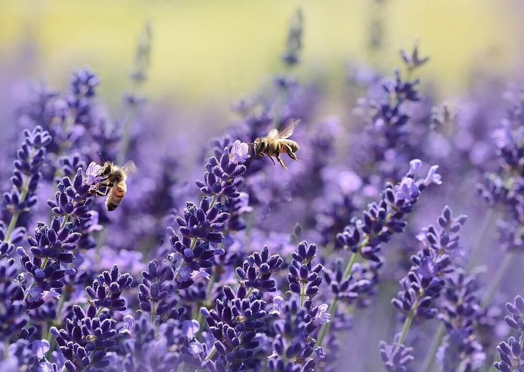 Photo de plants de lavandes avec des abeilles